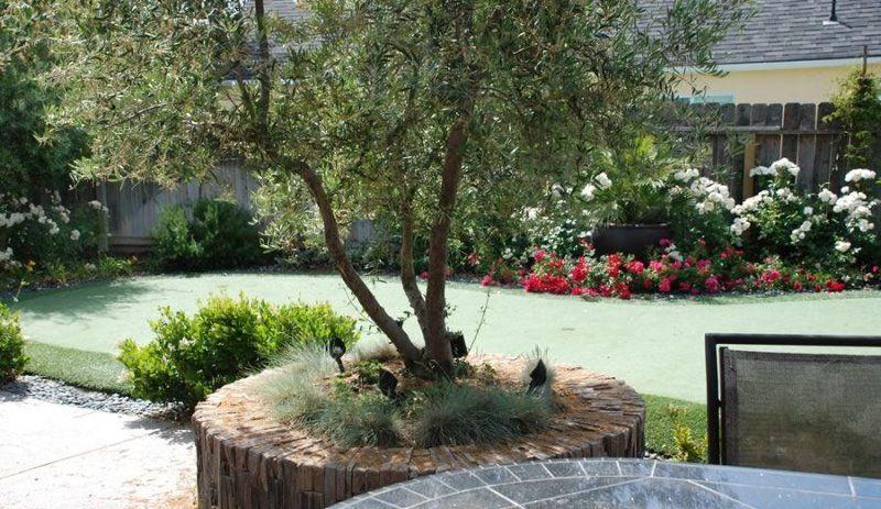 CA Olive Trees - Olive Trees   Olive Trees For Sale   SWG Olive Trees
