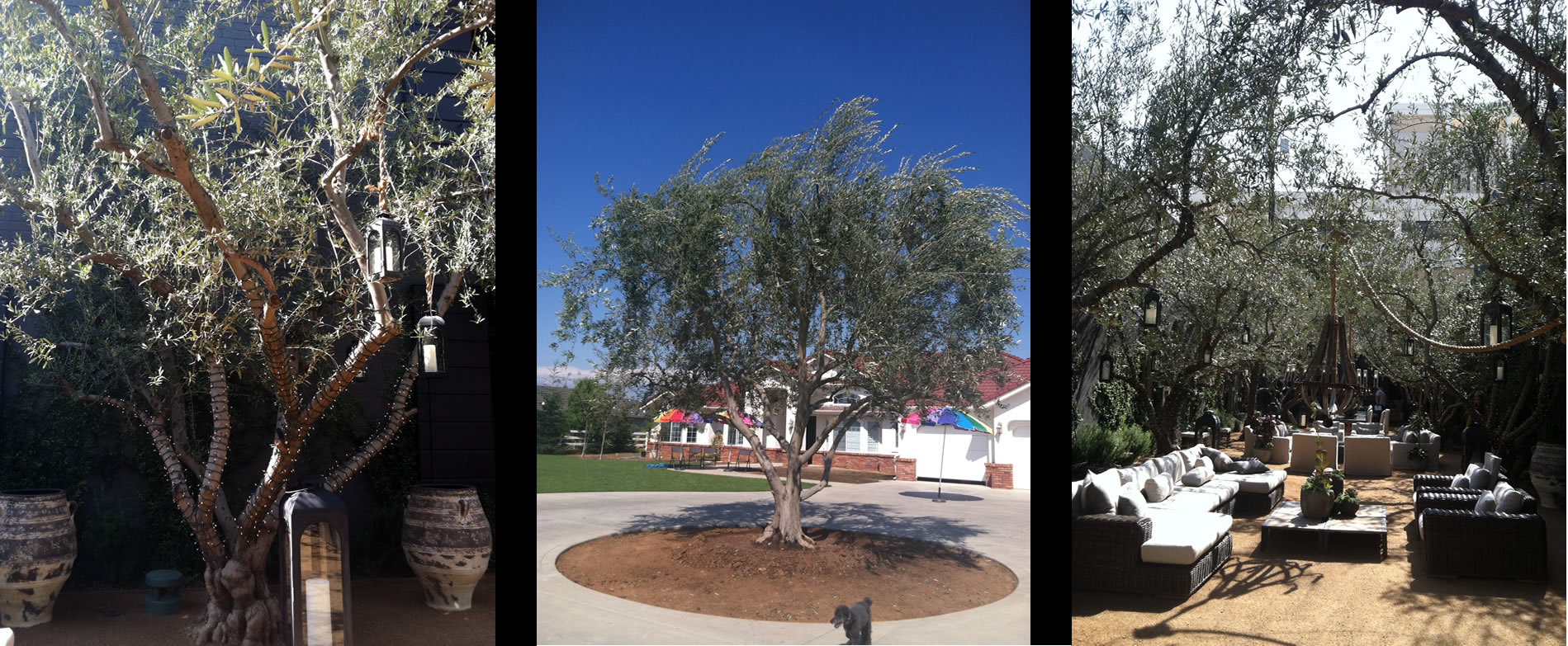 Olive trees for Sale Clovis California (F)
