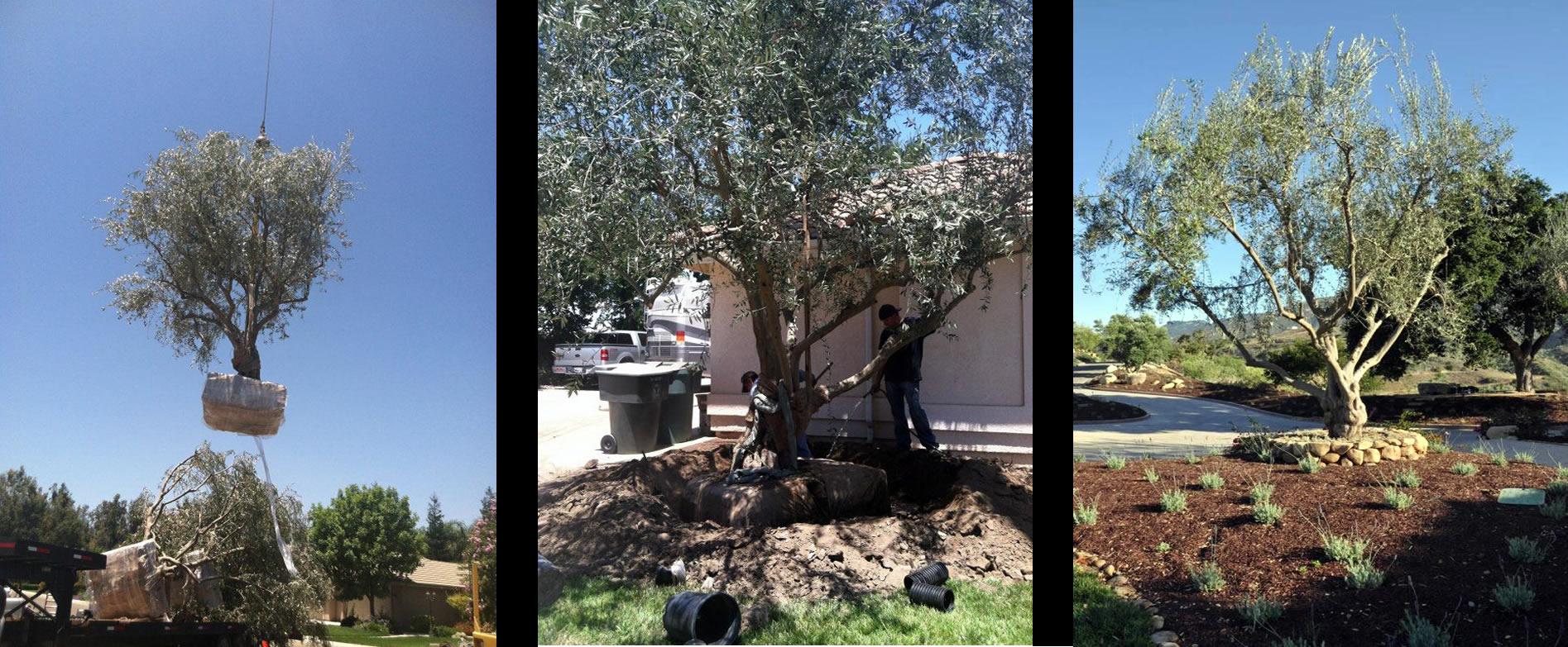 Olive trees for Sale Fresno California