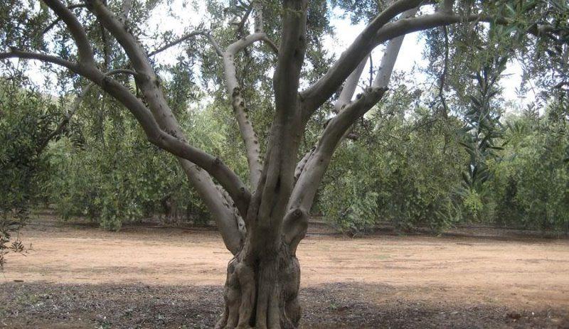Olive trees for sale Riverside